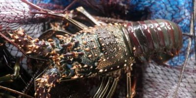 Why is lobster legalized for exports?